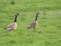 Jonge ganzen in het Oudeland - foto Wilma de Jong