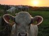 Koeien bij zonsondergang bij het Oude Land - Sharon Jonas