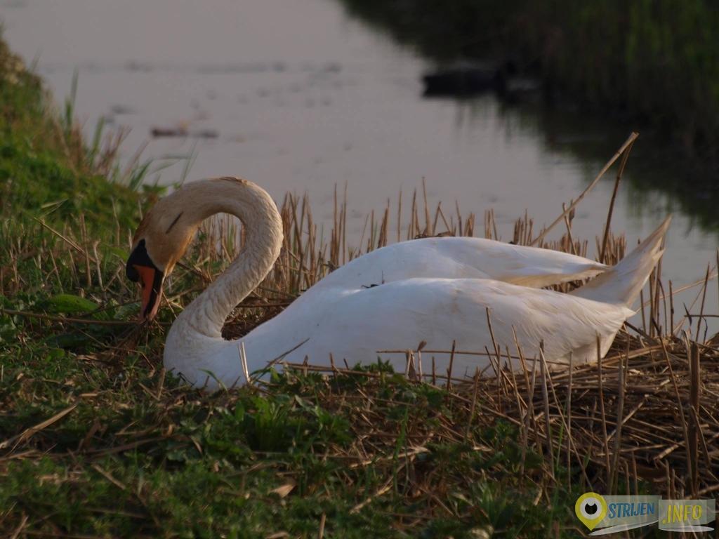 Op de Waleweg. Grutto,fuut op nest en zwaan op nest. door GW Notenboom